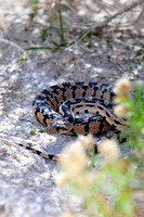 Gopher Snake at Fish Slough